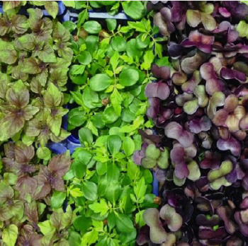 Mighty Microgreens