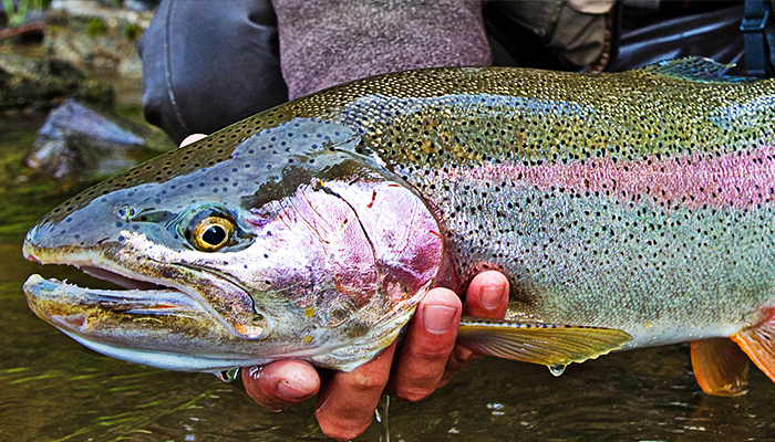 The Steelhead ID Crisis